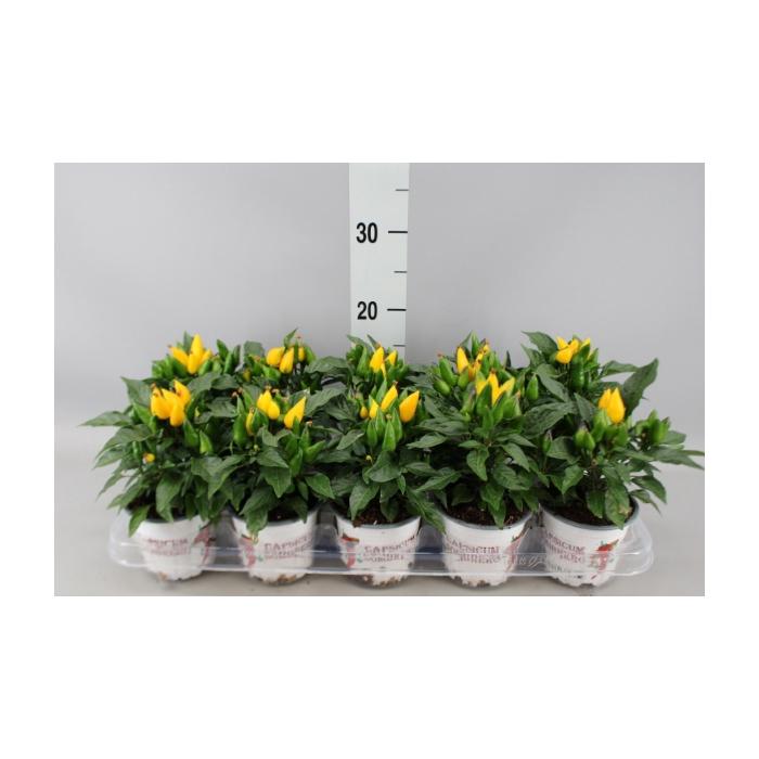 <h4>Capsicum annuum 'Favorit Yellow'</h4>