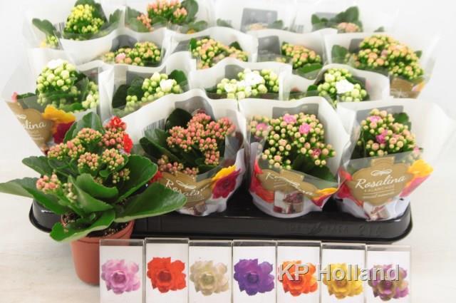 <h4>Calendiva Rosalina mix 6 kleuren</h4>