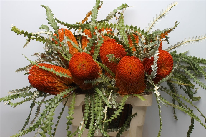 <h4>Banksia Speciosa Orange</h4>