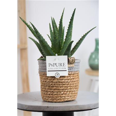 <h4>Aloe Arborescens Basket Iii</h4>