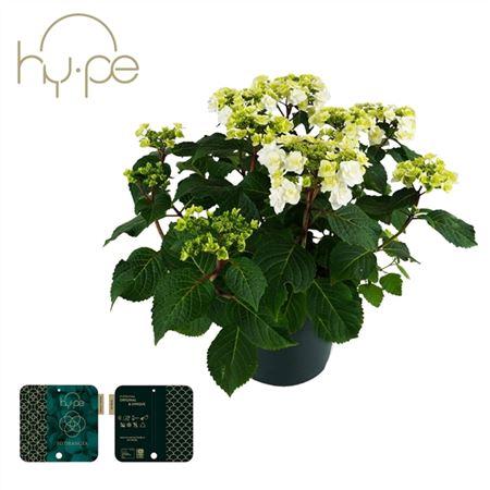 <h4>Hydrangea Wedding Gown 7+</h4>