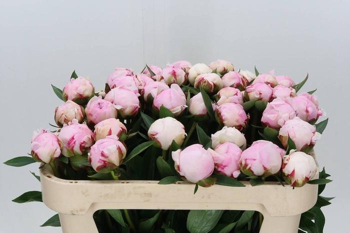 <h4>Paeonia L Sarah Bernhardt</h4>
