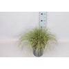vaste planten 19 cm  Carex brunnea Variegata