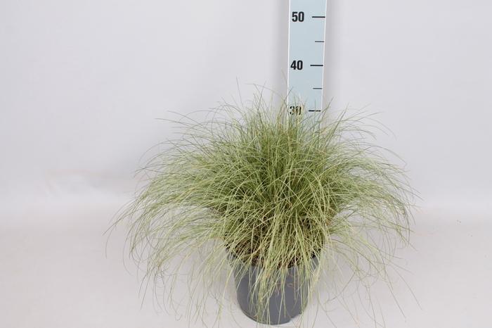 <h4>vaste planten 19 cm  Carex brunnea Variegata</h4>
