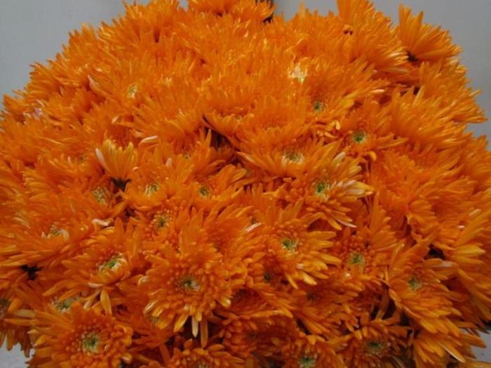<h4>Chr T Topspin Oranje</h4>