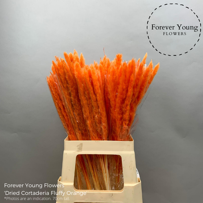 <h4>Dried Cortaderia Fluffy Light Orange</h4>