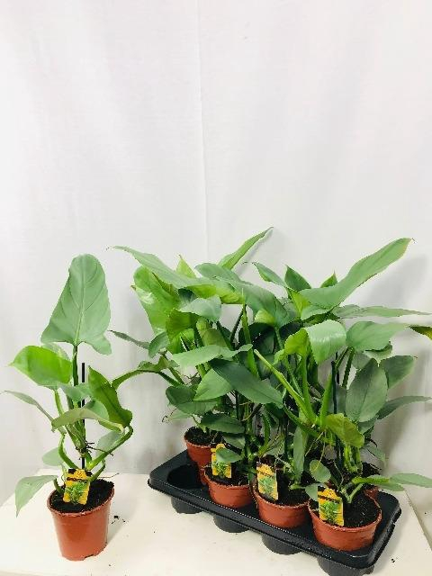 <h4>Philodendron Silver Queen 14Ø 55cm</h4>