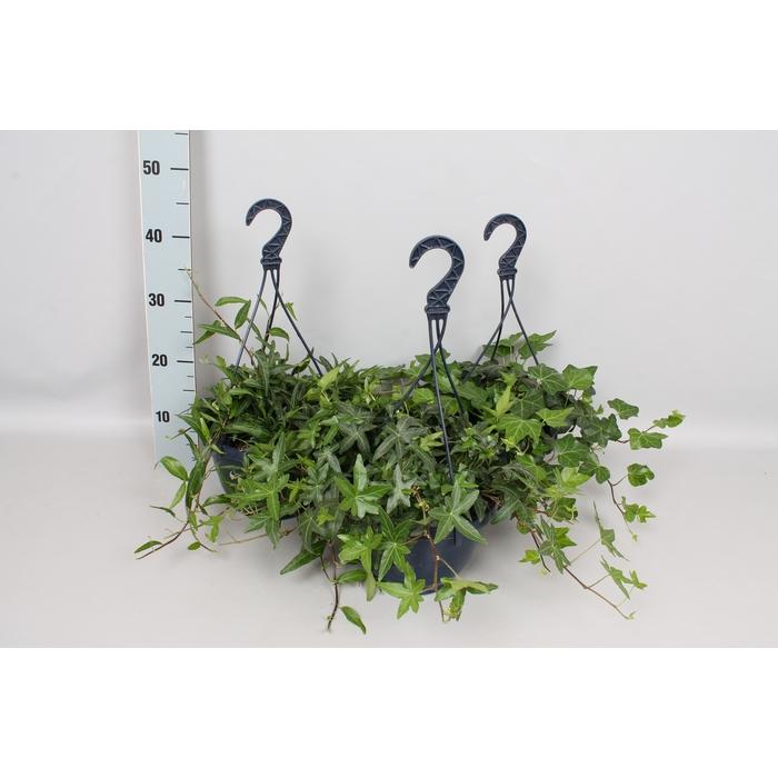 <h4>Hangpot 23cm Hedera Diverse</h4>