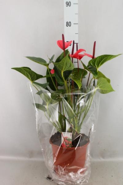 <h4>Anthurium andr. 'Pink Love'</h4>