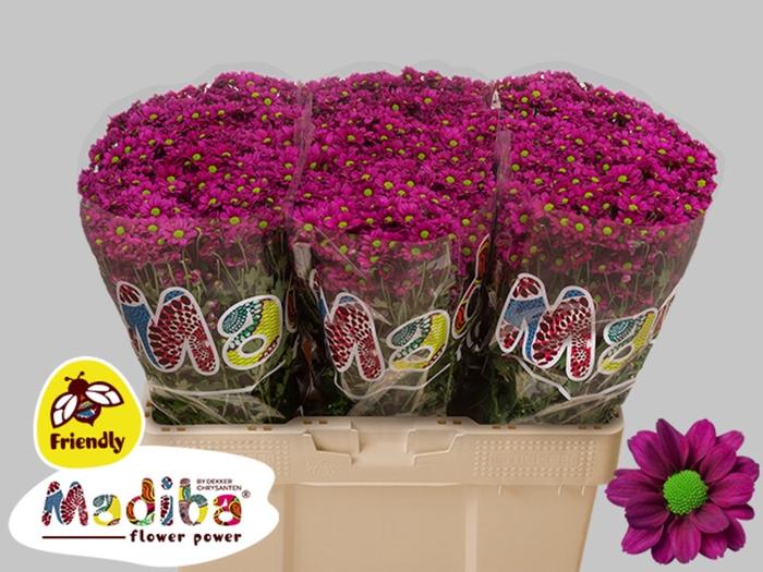 <h4>Chrys. santini Madiba Jombe Purple</h4>