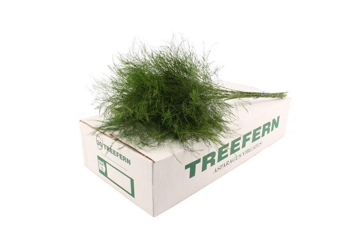 <h4>ASP VIRG (TREE FERN)</h4>