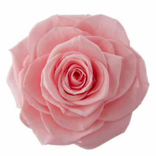 <h4>Rose Ines Baby Pink</h4>