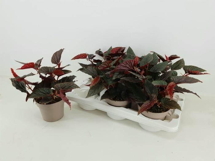 <h4>Begonia blad. Polka Dot Pink</h4>