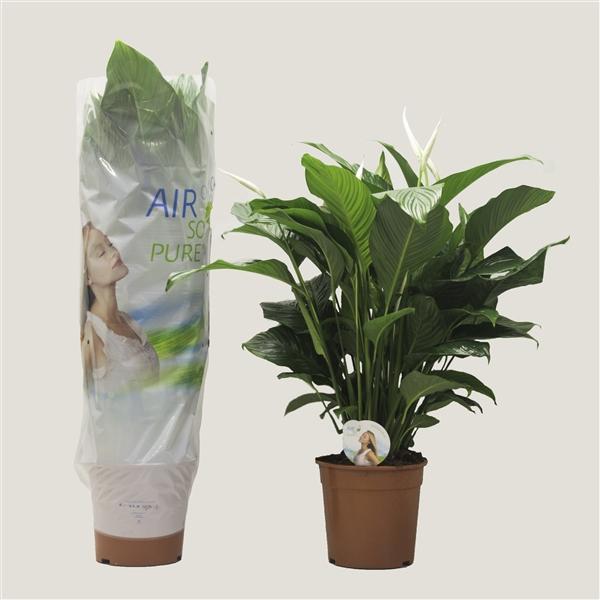 <h4>Spathiphyllum 'Sweet Lauretta' ASP</h4>