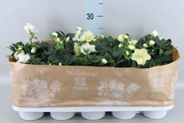 <h4>Helleborus niger 'Christmas Carol'</h4>