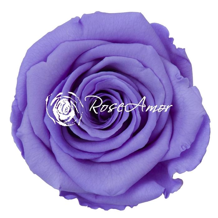 <h4>PRESERVED ROSA LL VIO 01</h4>