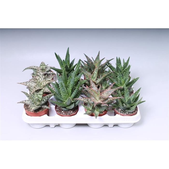 <h4>Aloe Gem</h4>