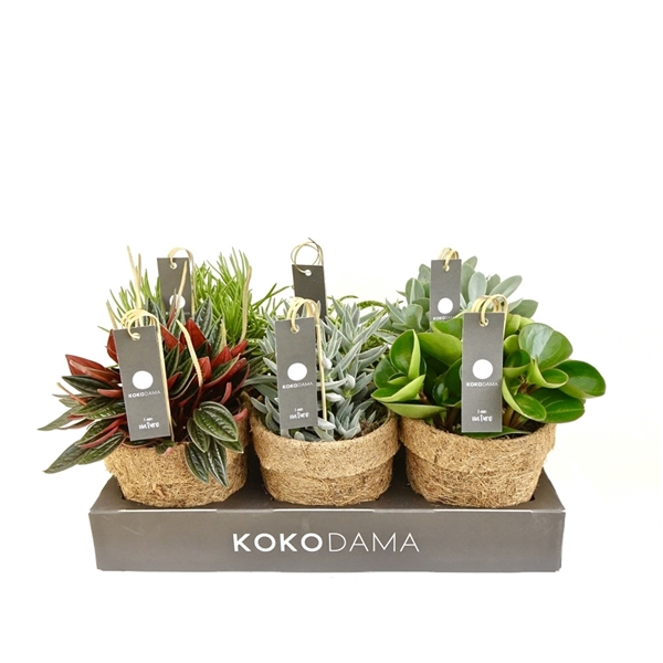 <h4>Kokopot 13 Eden Collection (green)    NO PLASTIC 100% natural</h4>