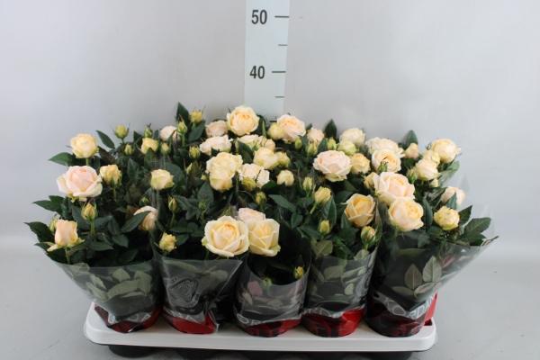 <h4>Rosa  'Belami Kordana'</h4>