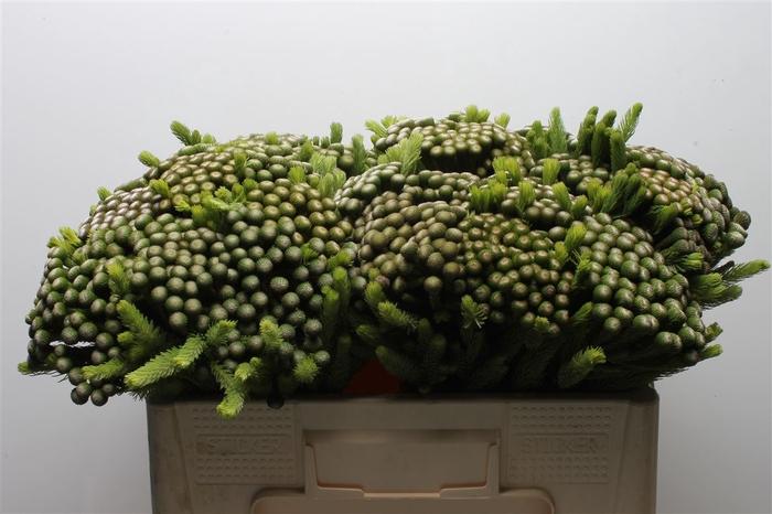 <h4>Kaaps Brunia Albiflora Medium</h4>