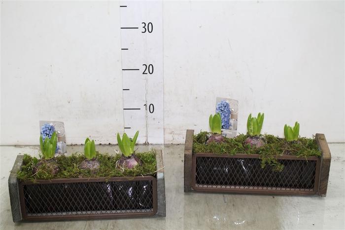 <h4>Hyacinth Mix 3921 Steigerbouw 3pp Mos</h4>