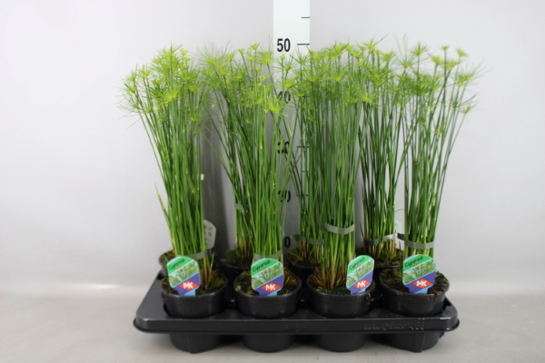 <h4>Cyperus haspan</h4>