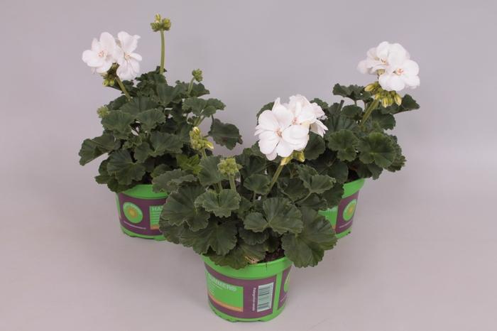 <h4>Pelargonium zonale White</h4>