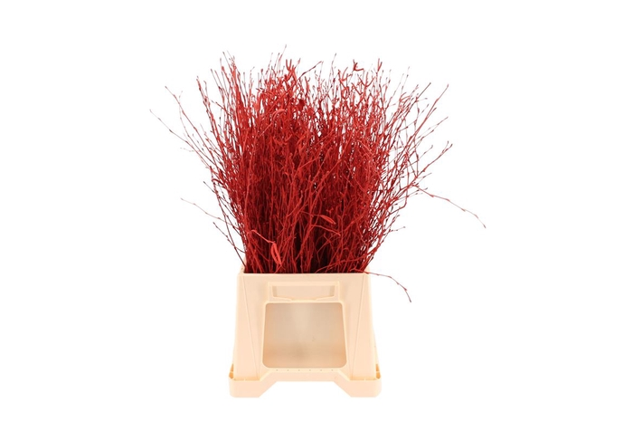 <h4>Berk ( Birch ) Red</h4>