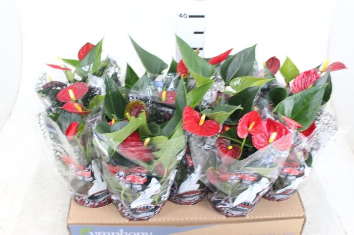 <h4>ANTHURIUM RED SUCCESS P12</h4>