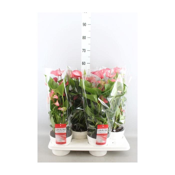 <h4>Anthurium andr. 'Livium Red'</h4>