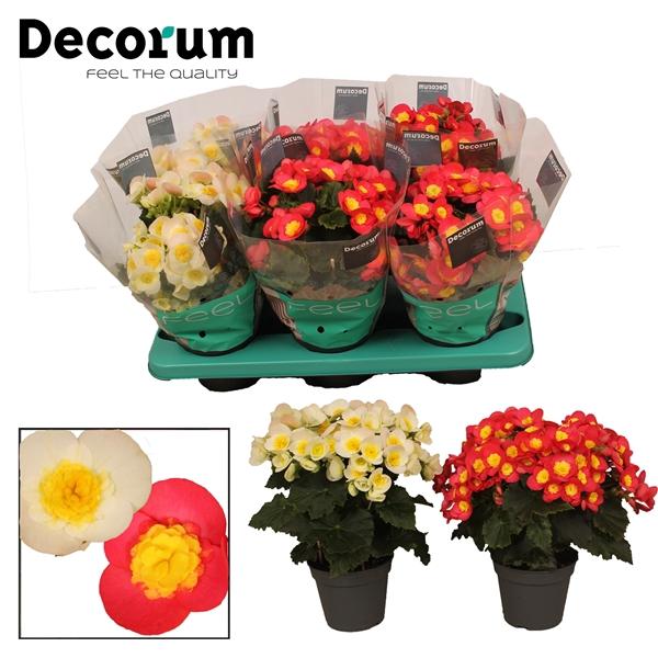 <h4>Begonia ''valentino gemengd'' Decorum</h4>