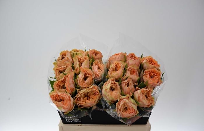 <h4>Rosa Gr Golden Lady</h4>