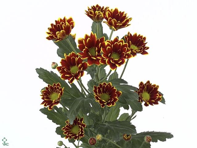 <h4>Chrysanthemum spray kastelli</h4>