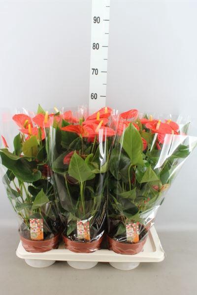<h4>Anthurium andr. 'Sierra Orange'</h4>