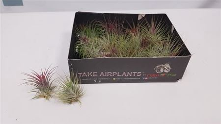 <h4>Till Air Plants</h4>