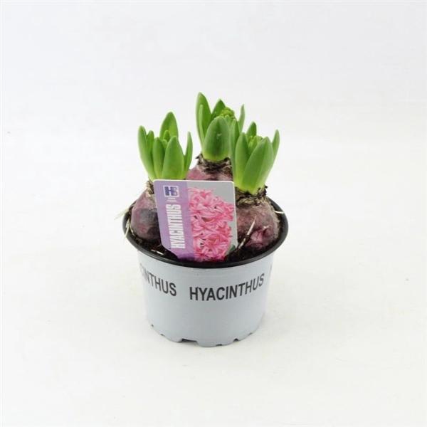 <h4>Hyacinthus Pink Pearl</h4>
