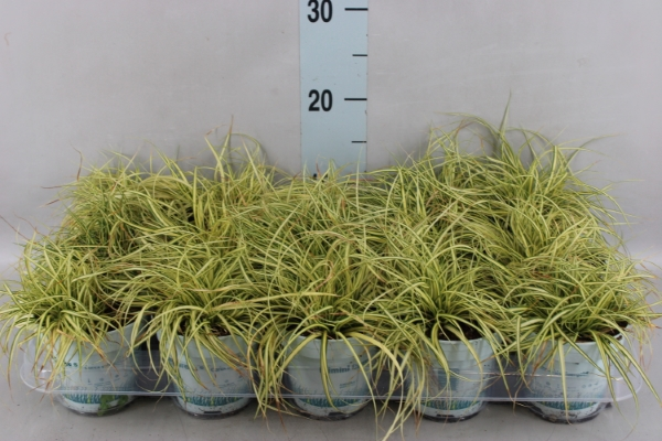 <h4>Carex hachijoensis 'Evergold'</h4>