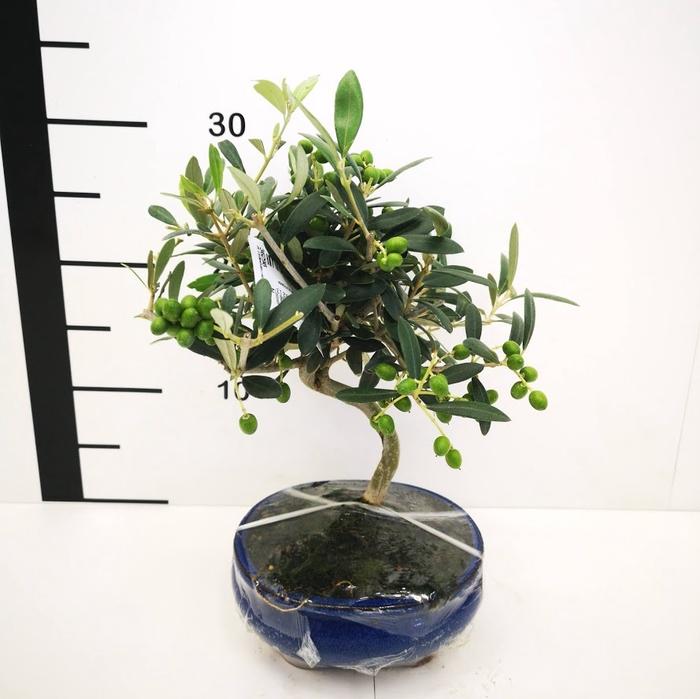 <h4>Bonsai Olea europea 7 años</h4>