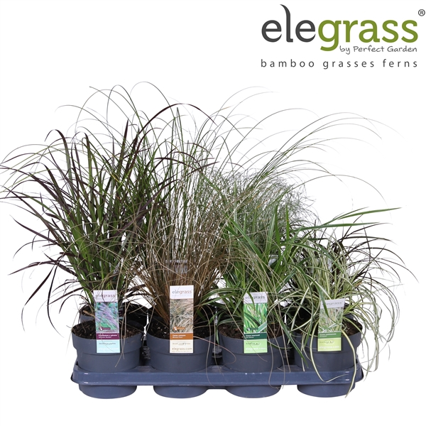 <h4>Grassen mix tray - Elegrass Hardy and Evergreen</h4>