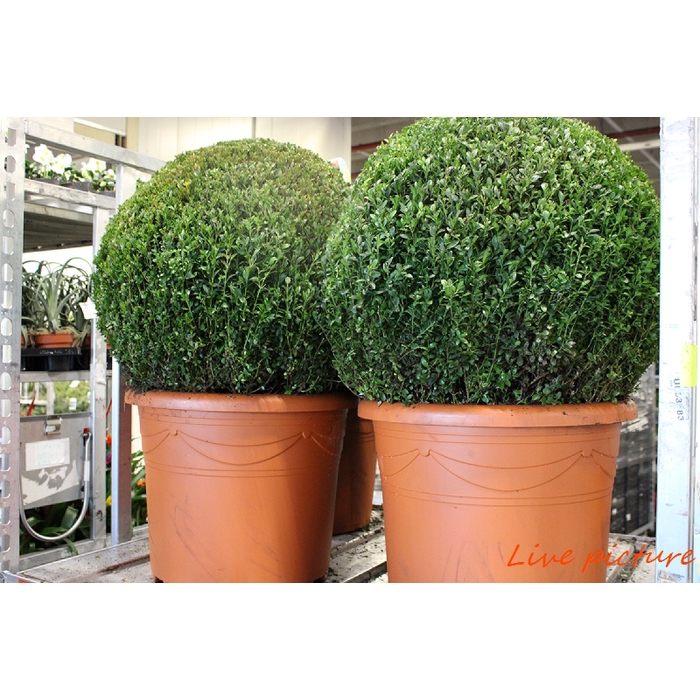 <h4>Buxus Sempervirens</h4>