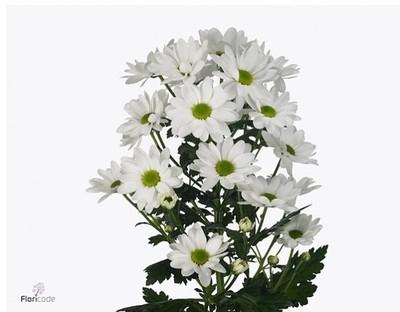 <h4>Chrysanthemum spray Chic White</h4>