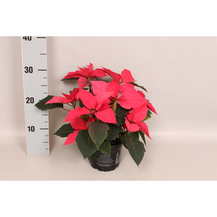 <h4>Poinsettia 10,5 cm Christmas Feelings® Pink</h4>