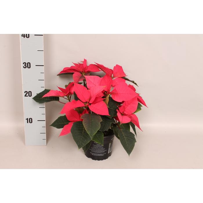 <h4>Poinsettia 10,5 cm Mars Pink</h4>