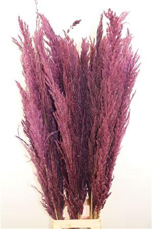 <h4>Dried Pampas Gras Bordeaux ( 8 Stem )</h4>