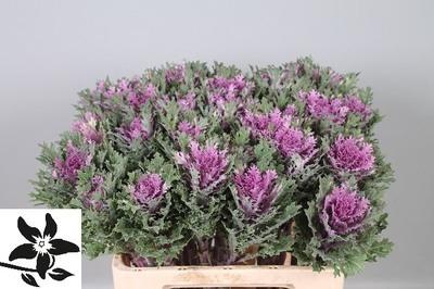 <h4>Brassica Crane Queen</h4>