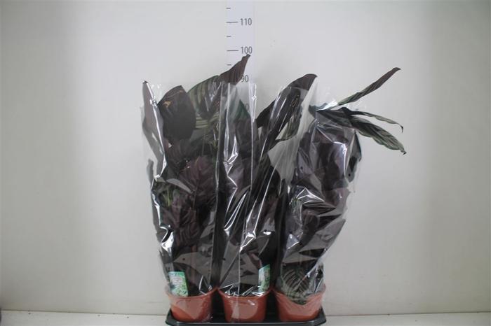 <h4>Calathea Sanderiana</h4>