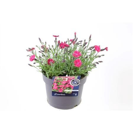<h4>Dianthus Dianturi Twinkle</h4>