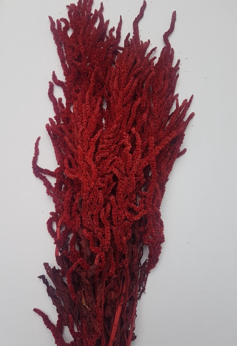 <h4>AMARANTHUS PRESERVED COLORED</h4>