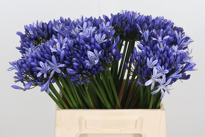 <h4>Agapanthus Blauw</h4>