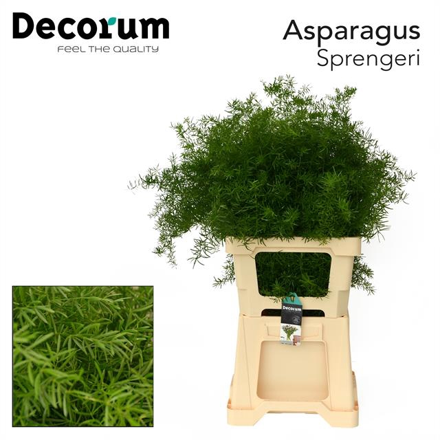 <h4>ASPARAGUS sprengeri 65cm (50) dc</h4>